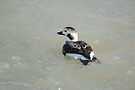 Long Tailed Duck - Female by Lynda   McDonald