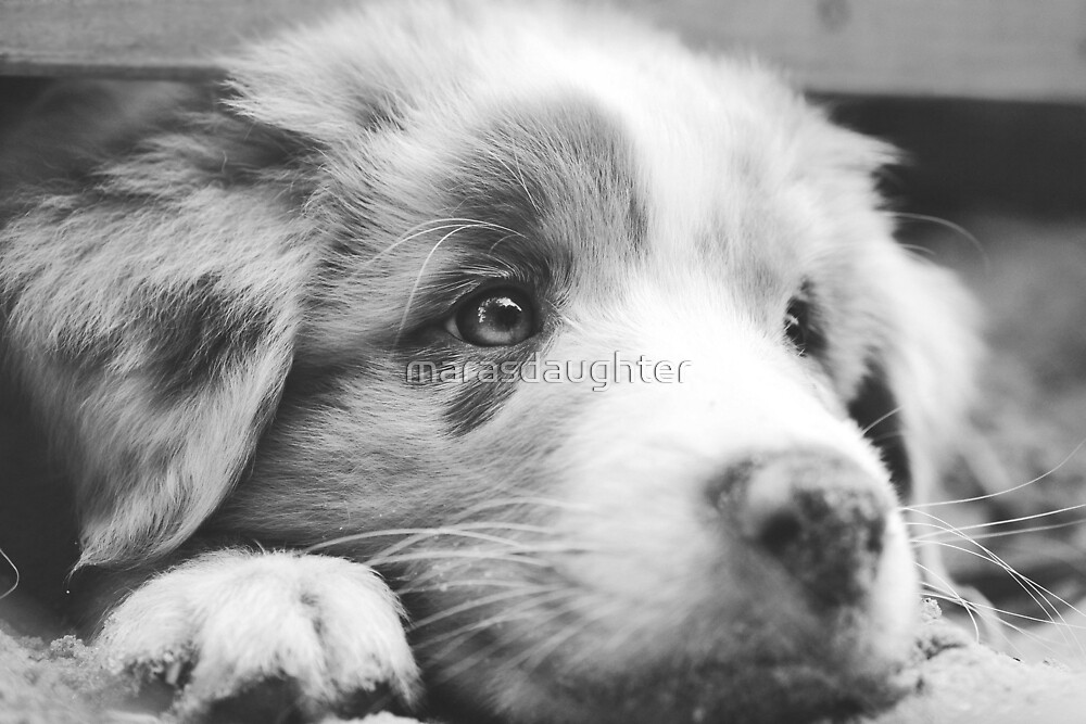 australian shepherd puppy in black and white tones by marasdaughter