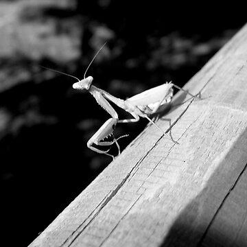 Praying Mantis by LisaRoberts