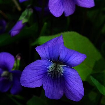 Arrow-leaved Violet (Viola sagittata) by BonnieToll