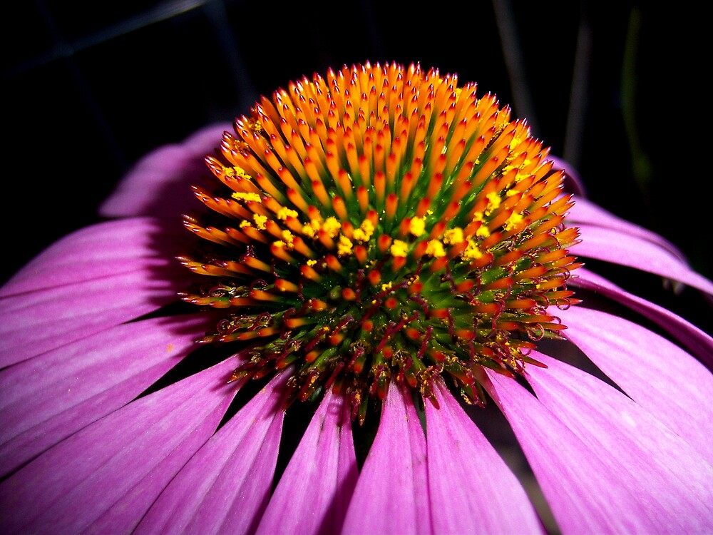 Coneflower Up Close by DottieDees