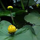 Bullhead Lily (Nuphar variegata) by BonnieToll