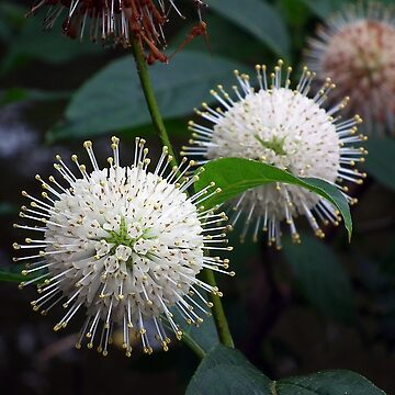 Buttonbush (Cephalanthus occidentalis) by BonnieToll