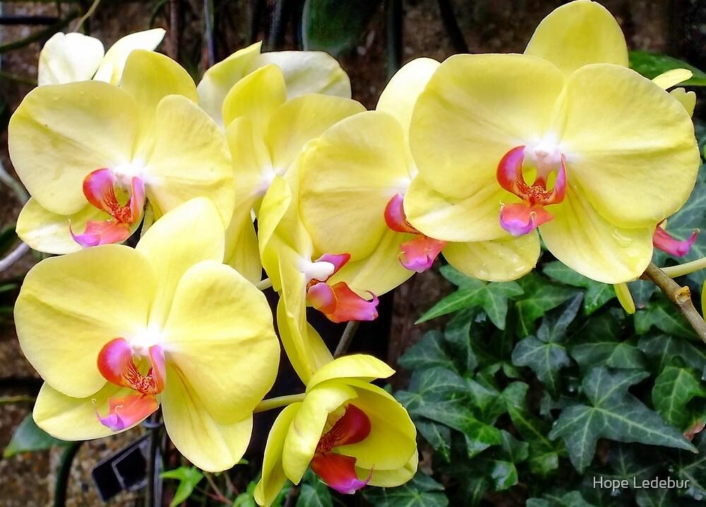 Yellow Phalaenopsis Orchids _crop by Hope Ledebur