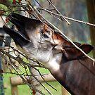 okapi by funkybunch