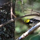 Black-throated Green Warbler by Gale Ulsamer