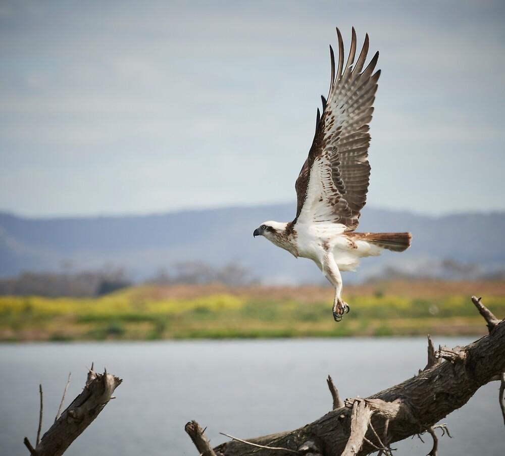 Eastern Osprey by markhgphoto