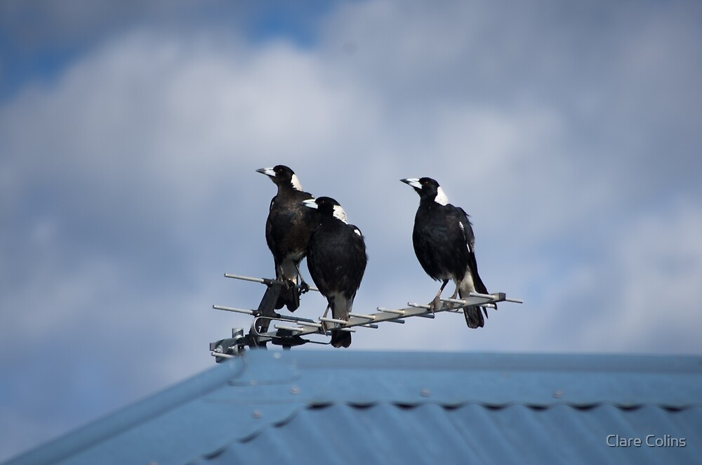 Magpies Three by Clare Colins