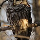 Barred Owl by Gale Ulsamer