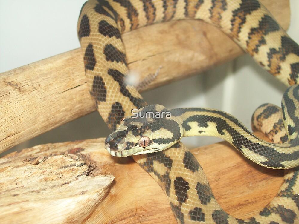 Darwin Carpet python by Sumara