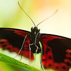 Portrait of a butterfly by AnnaKT