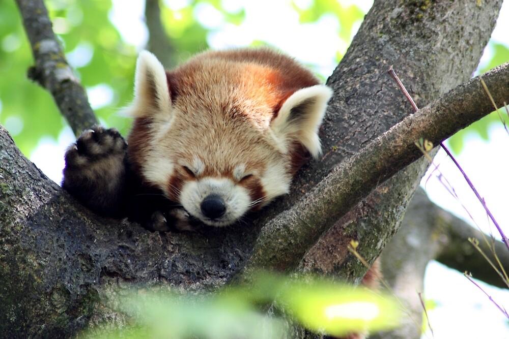 Cute Red Panda by BoswellArt