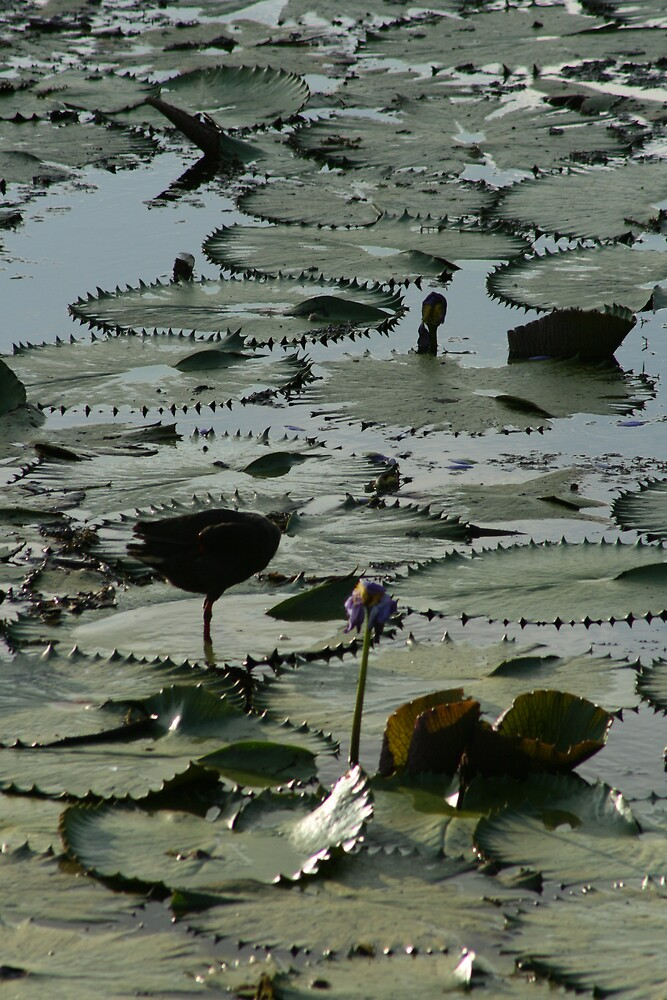 the lilly pads by Tracey Victor
