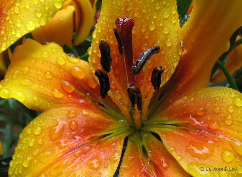Beautiful Amber Lily With Raindrops by BlueMoonRose