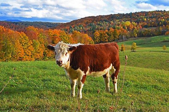 Jenne Farm Cow Reading Vermont by WayneOxfordPh