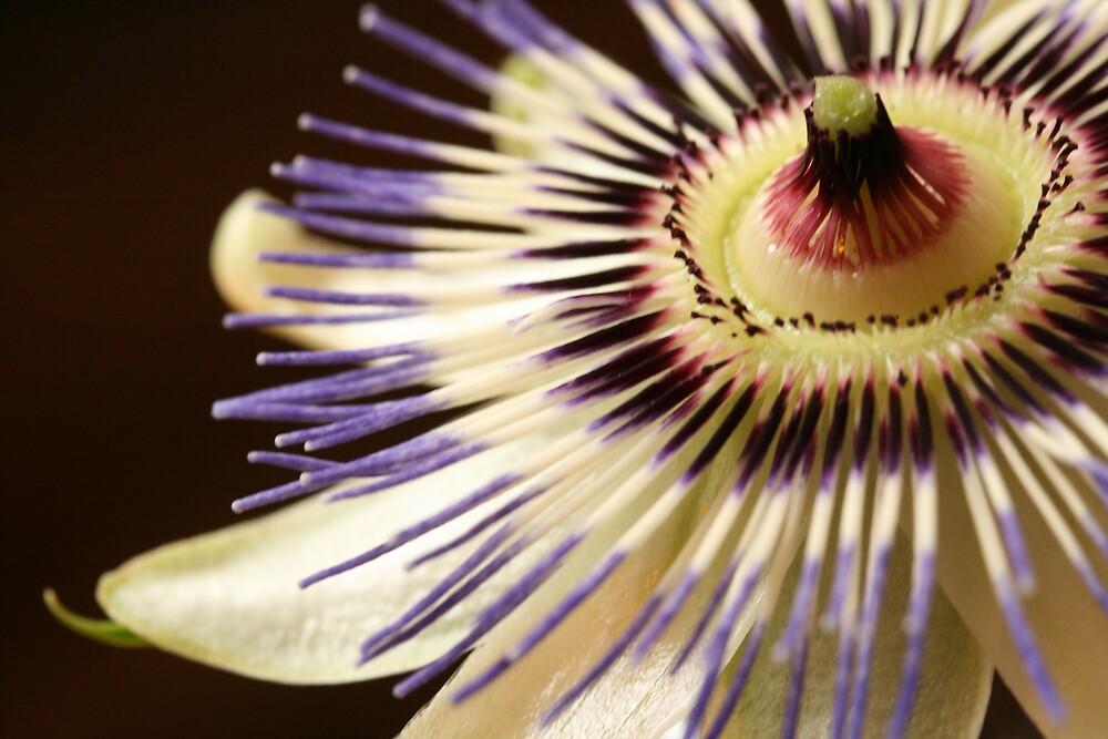 passionflower by JulesVandermaat
