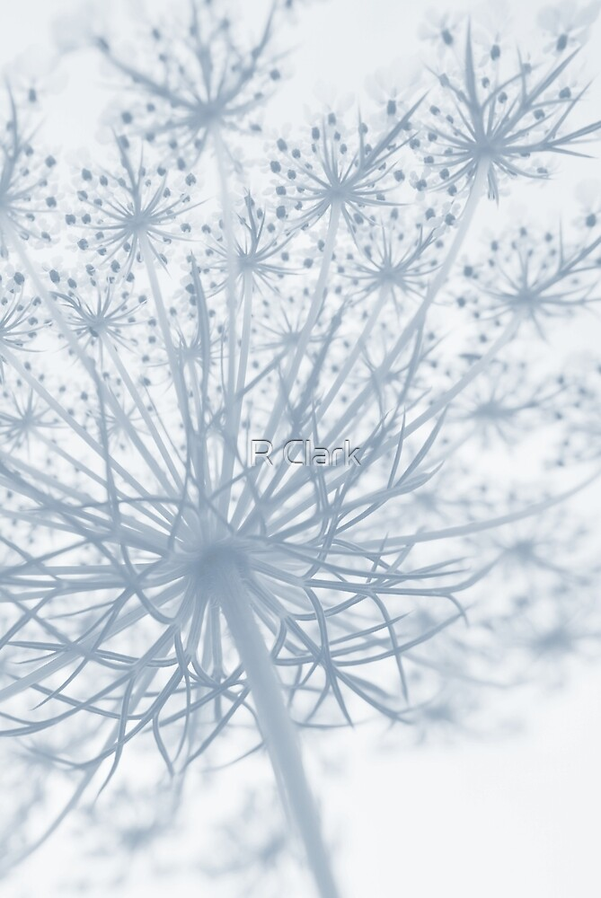 Queen Anne Lace #2 by R Clark