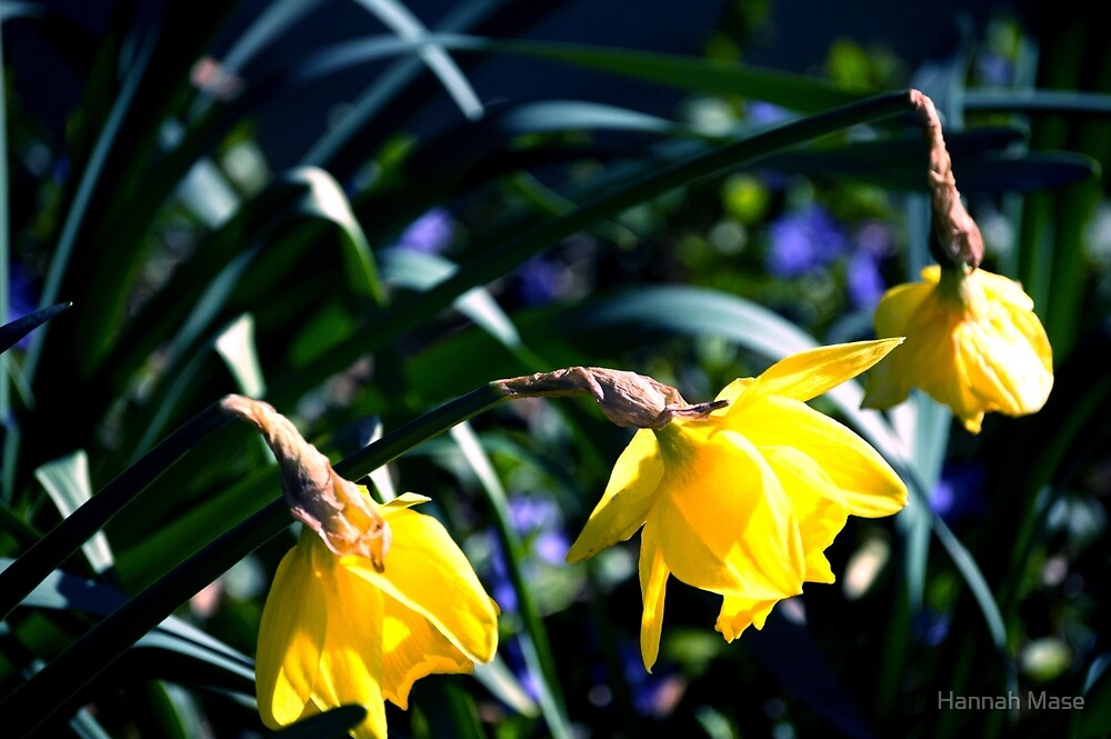 Yellow Daffodils by steelyhan