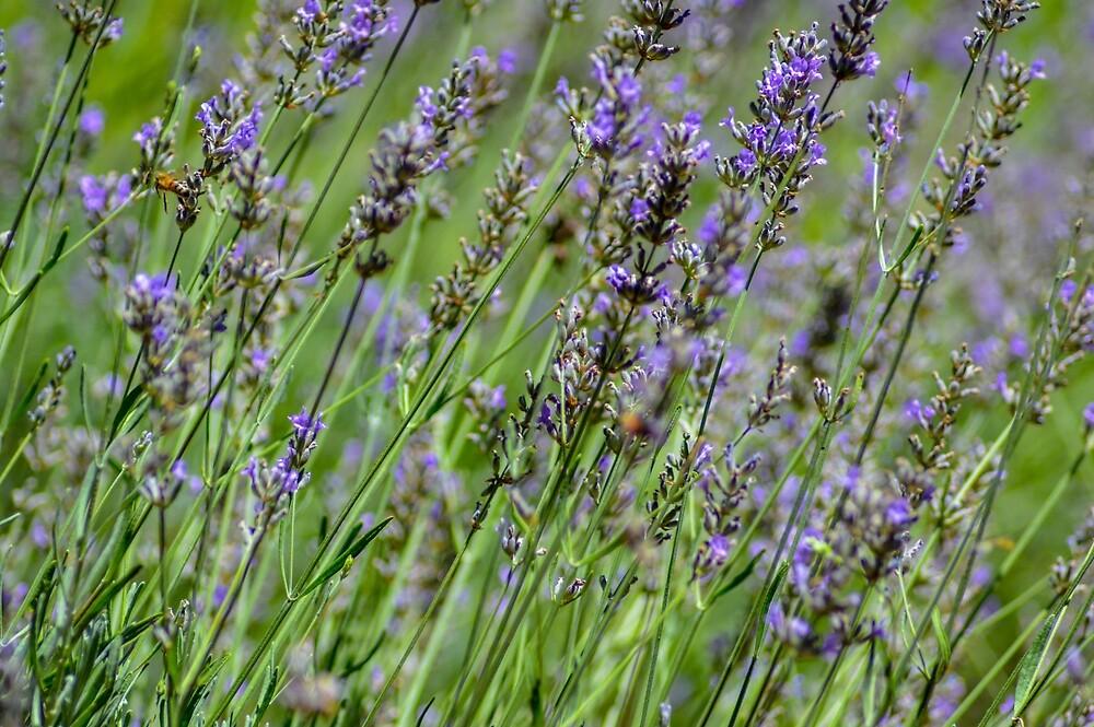 Wild field Lavender by Indigo73