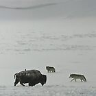 Wolves Watch the Winter Bison by Ken McElroy
