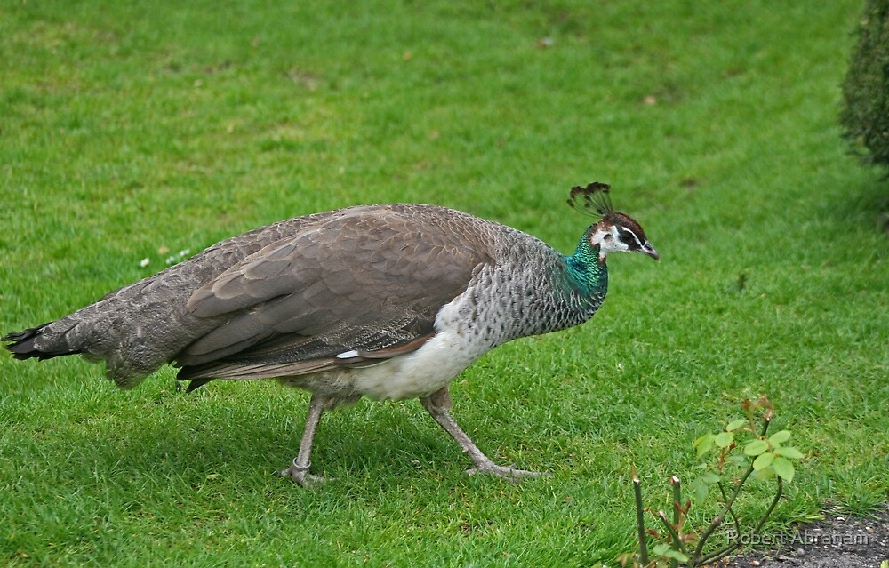 Peahen by Robert Abraham