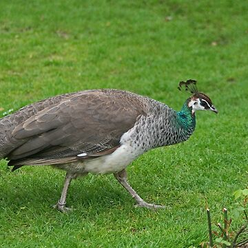 Peahen by Hawker