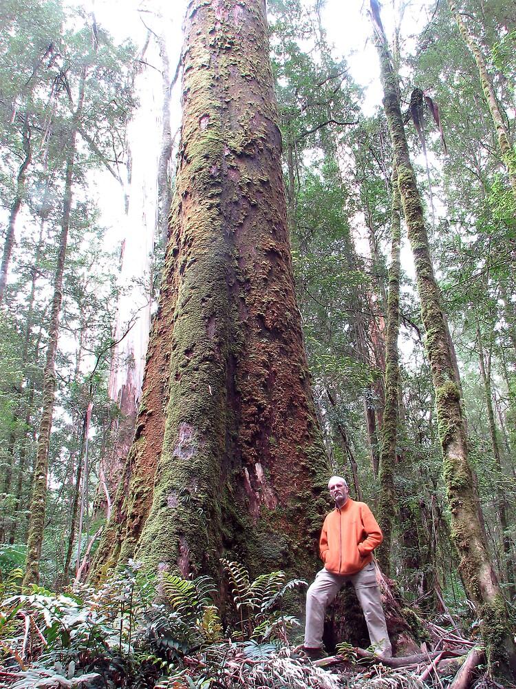 Big Tree, Otway National Park by DaveLambert