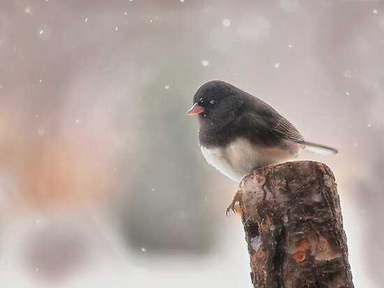 Winter Birds - Junco by Kathy Weaver