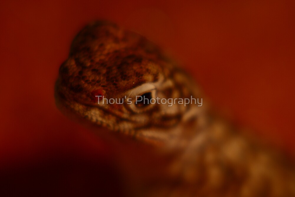 Cental netted Dragon by Thow's Photography