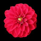 Red Dahlia Photopainting by hurmerinta