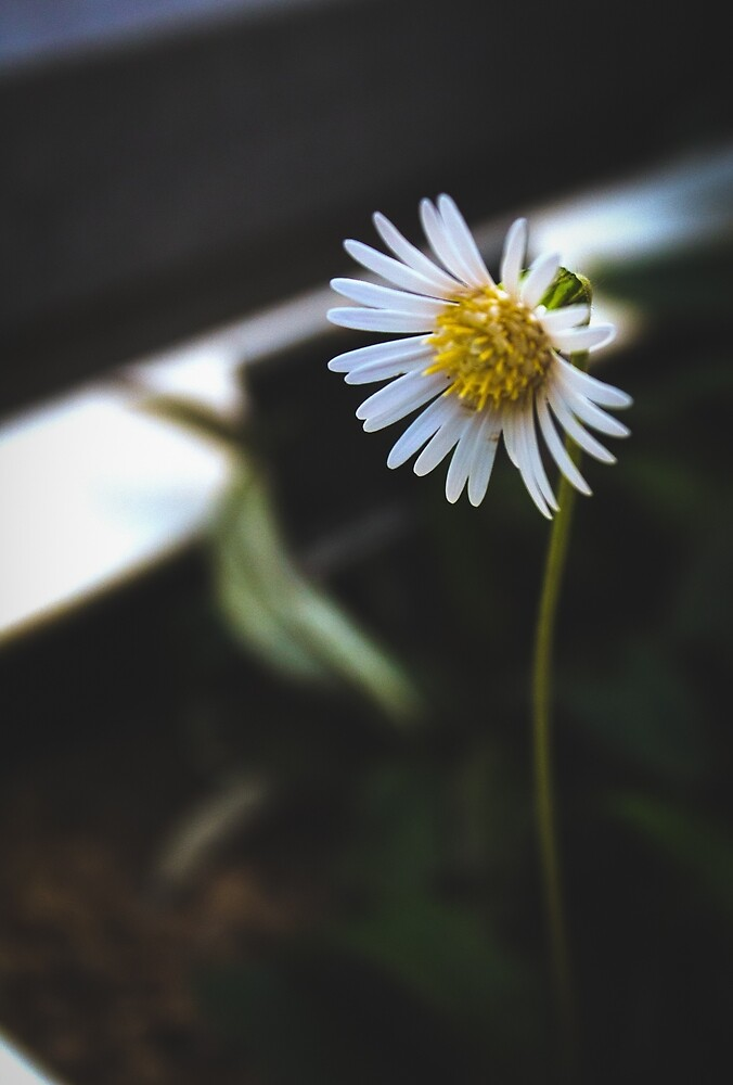 White Daisy by Walmorn