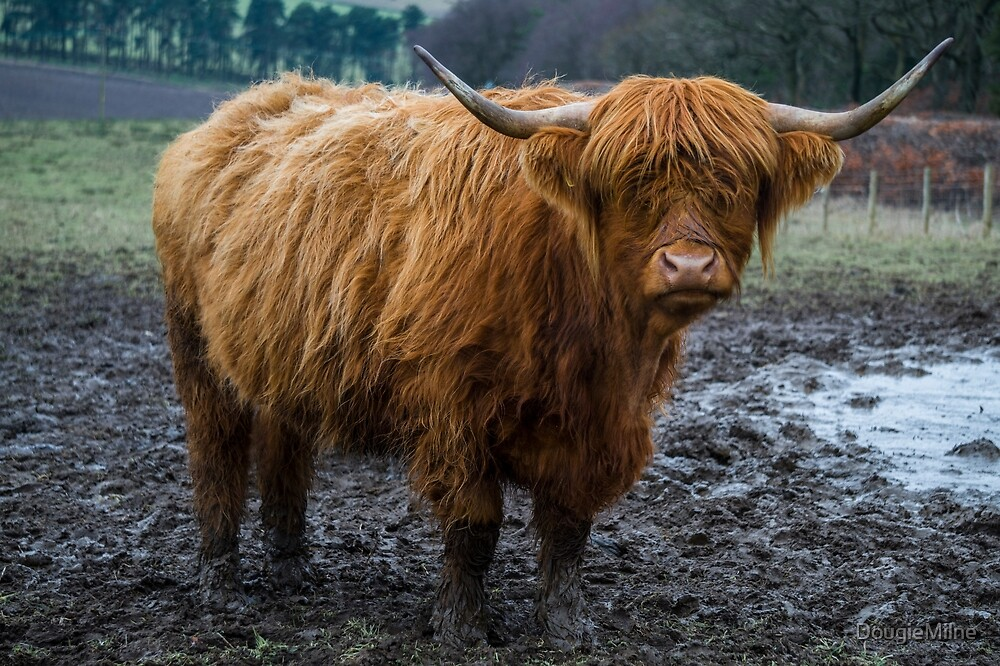 Highland Coo by DougieMilne