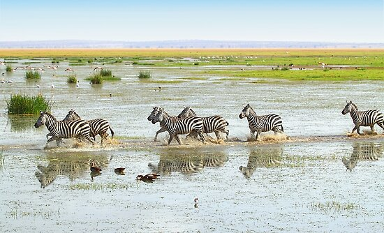 Zebras Crossing The Swamp by Carole-Anne
