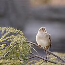 Sparrow by BigD