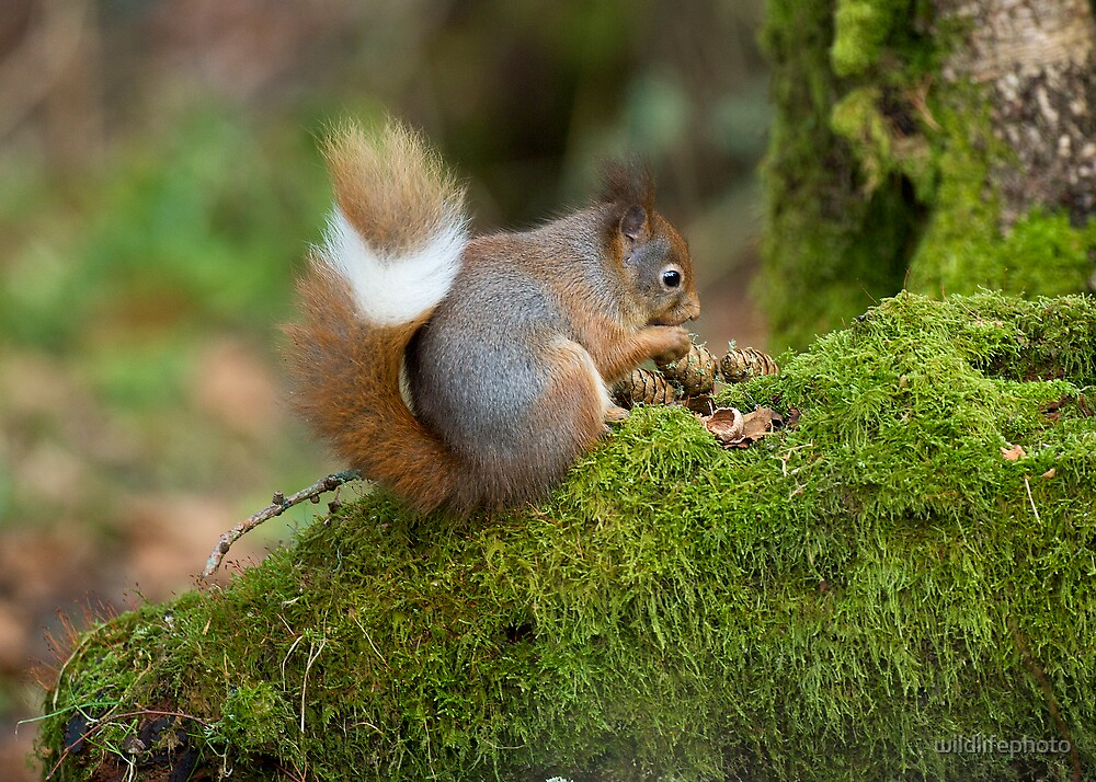 Ring Tail by wildlifephoto