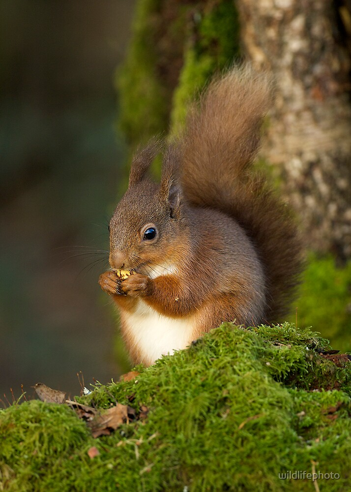 Red Squirrel feeding by wildlifephoto