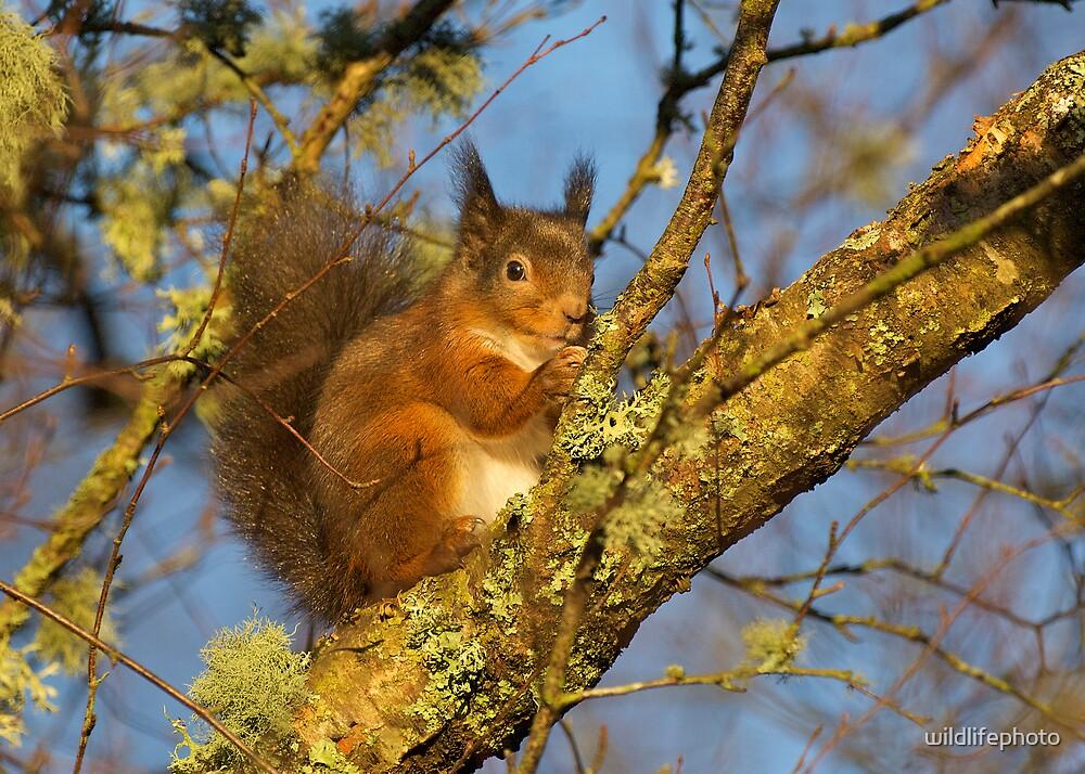 Red Squirrel feeding by wildlifephoto