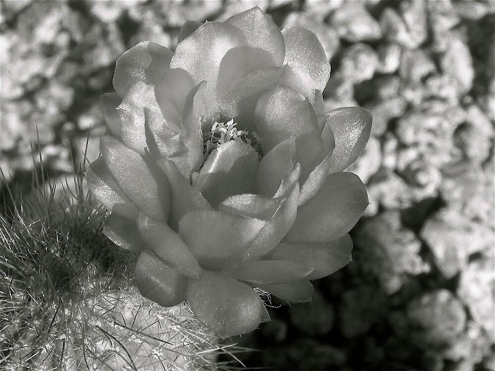 Cactus in bloom  by Bonnie Pelton