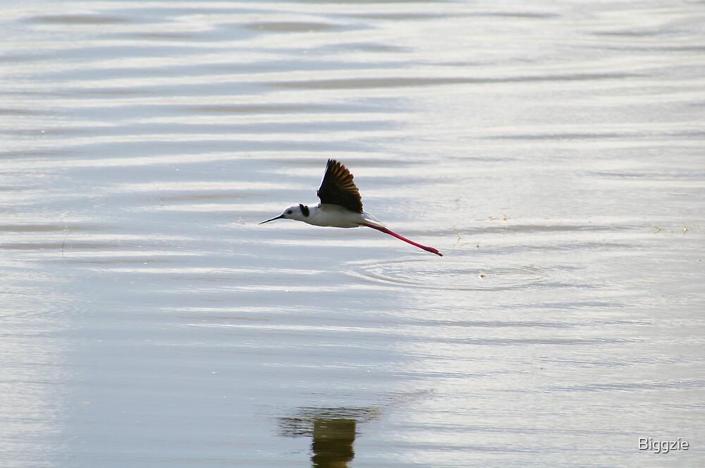 Black-winged Stilt  by Biggzie