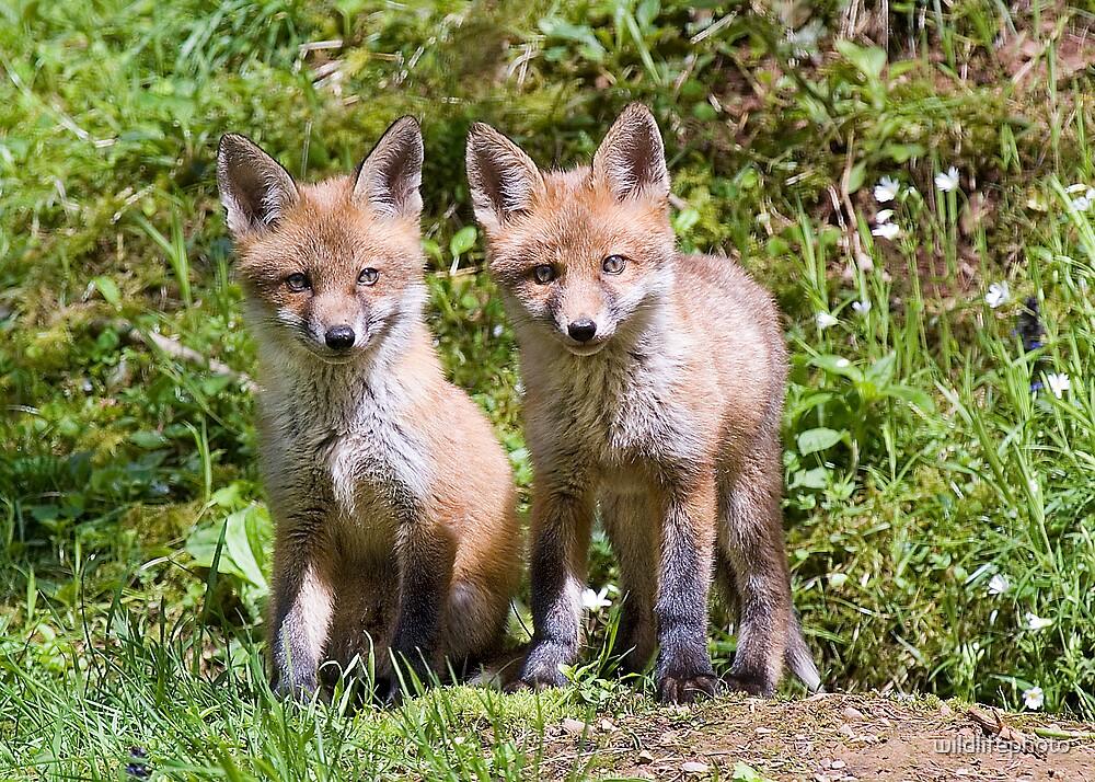 Fox cubs by wildlifephoto