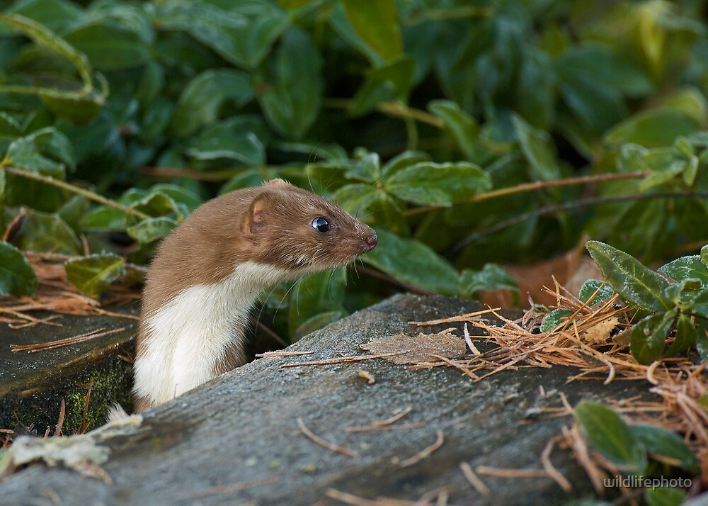 Inquisitive Stoat by wildlifephoto