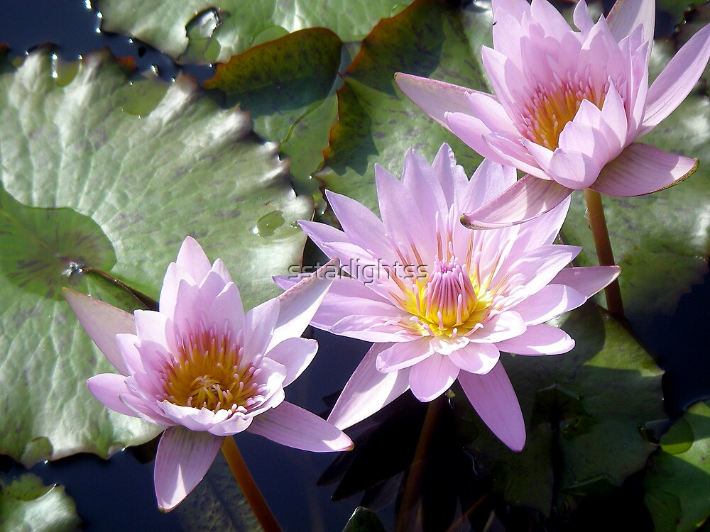 Pink Water Lilies by sstarlightss
