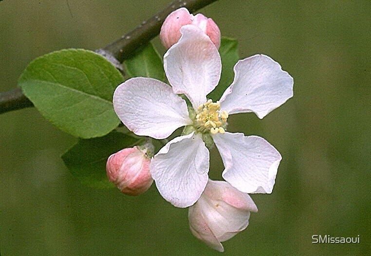 Apple Blossom by SMissaoui