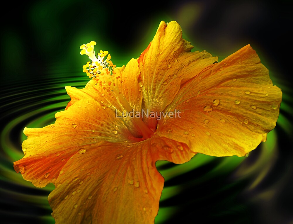 Hibiscus by LudaNayvelt
