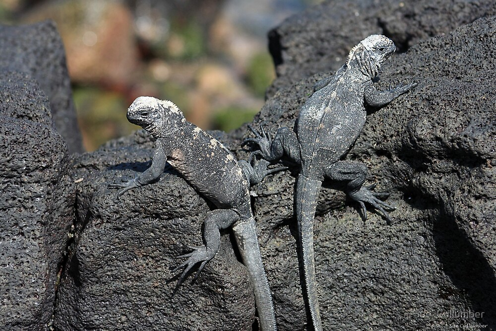 Baby Iguanas by Sue  Cullumber