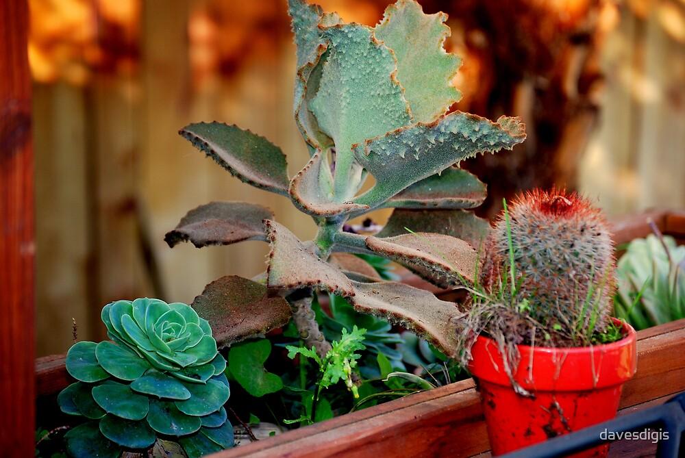 More San Francisco Cactus by davesdigis