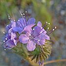 Common Phacelia by Patty Lewis
