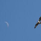 osprey moon by RichImage