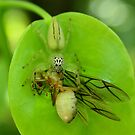 Ant attack White tailed jumping spider with prey by robmac