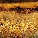 Golden Country Grasses  by lorilee